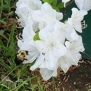 Bumblebee pollinating white Azalias